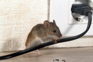 Mice Control, Pest Control in Stockley Park, UB11. Call Now 020 8166 9746